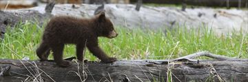 Black bear cub in Yellowstone National Park