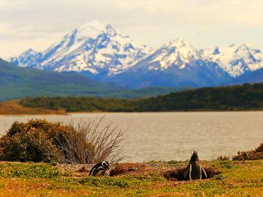 Gentoo penguins in Tierra del Fuego