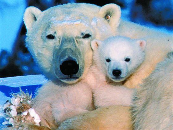Polar Bears at Churchill