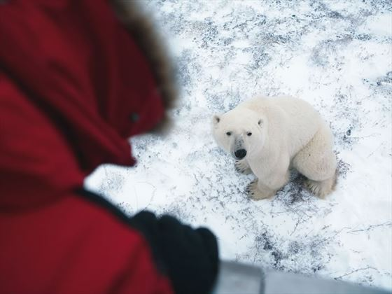 Viewing Polar bear from Tundra Buggy, Churchill