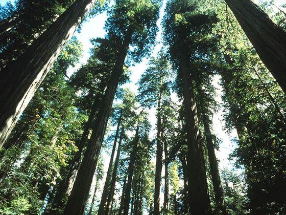 Coast Redwoods, Redwood National Park