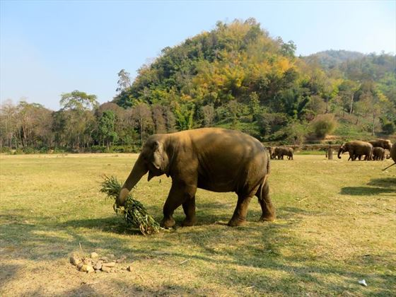 Elephants at Elephant Nature Park, Chiang Mai