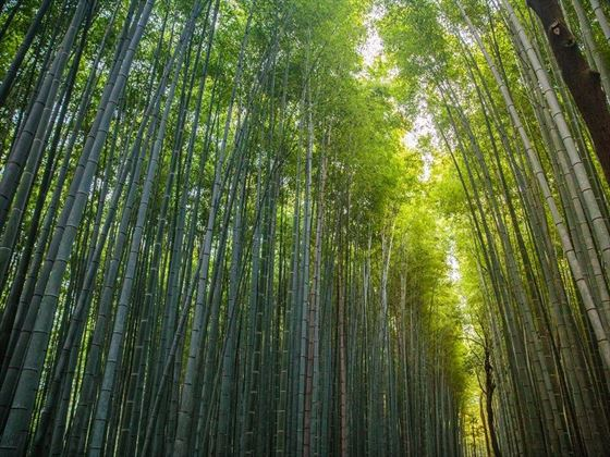 Bamboo forest path, Kyoto