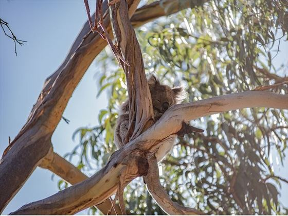 Kennet-river-koala