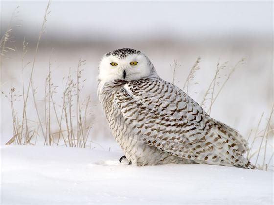 Snowy Owl in grasses