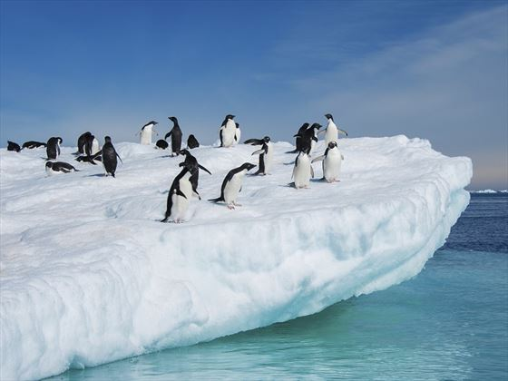 Adelie Penguins in the Antarctic