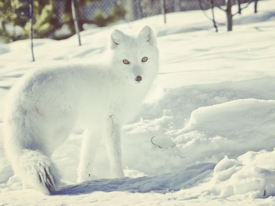 Arctive fox in Yukon Wildlife Preserve