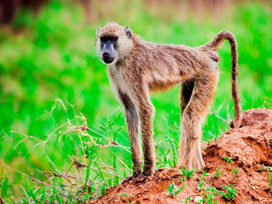 Baboon at Tsavo National Park