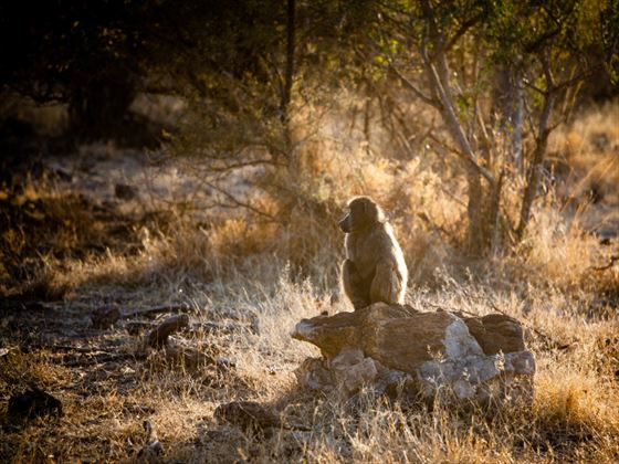 Baboon in Madikwe Game Reserve