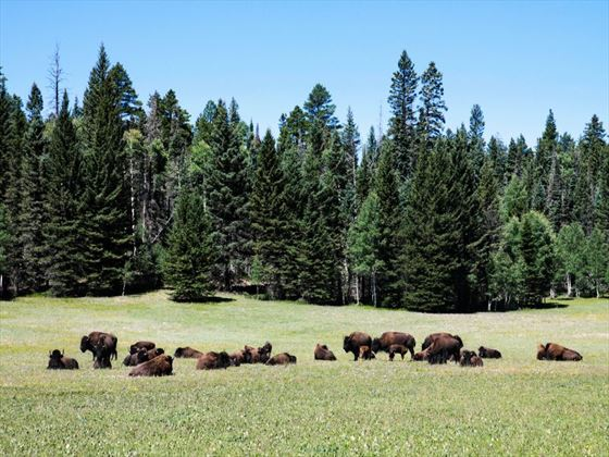 Bison in the Kaibab National Forest