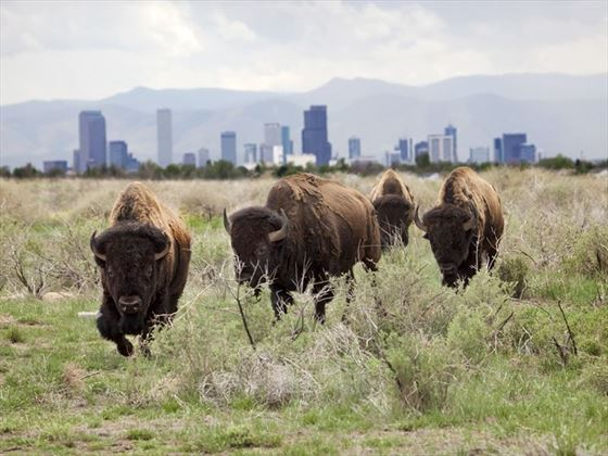 Bison roaming the plains outside of Denver