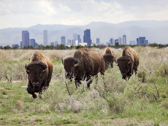 Bison roaming the plains outside of Denver