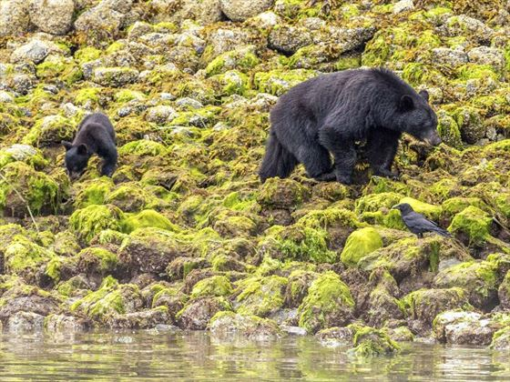 Black bears in Tofino