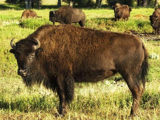 Buffalo herd, Jackson Hole