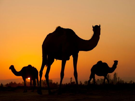 Silhouette of camels in the desert