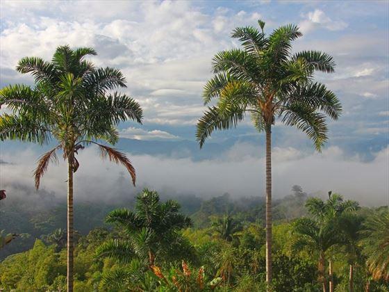 Coffee Triangle Palms