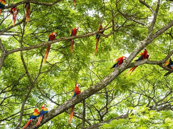 Red Macaws in Costa Rica