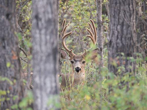 Deer at 108 Mile Ranch