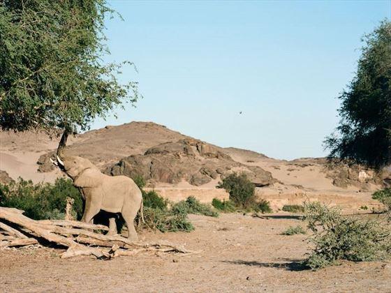 Desert-adapted elephants in Hoanib, Namibia