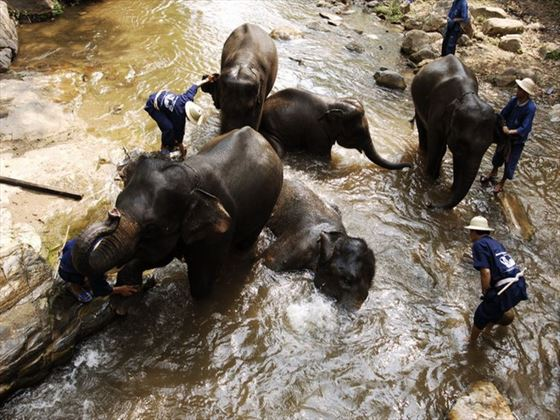Elephants being bathed in a river stream