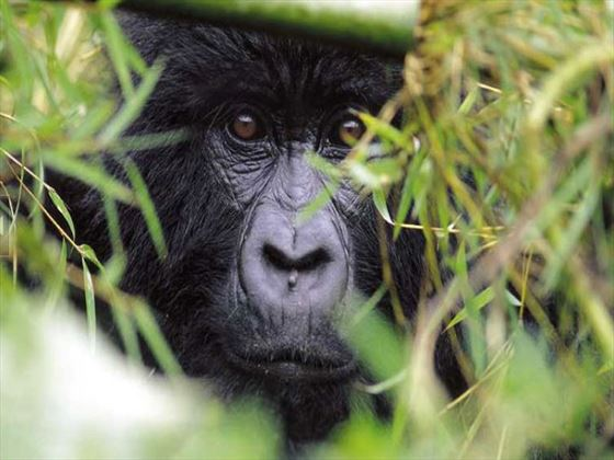 Gorillas at Sabyinyo Silverback Lodge