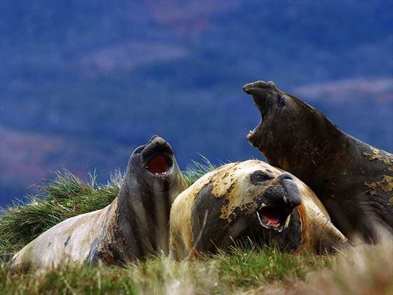 Group of Elephant Seals