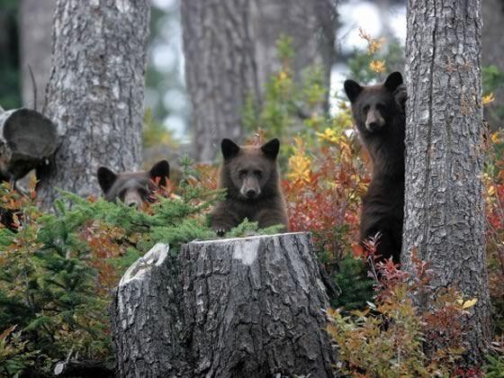 Young bears, Whistler