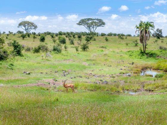 Impala at Nairobi National Park