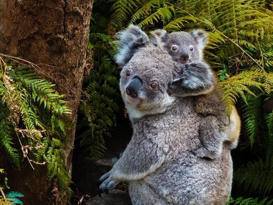Koala bear carrying baby