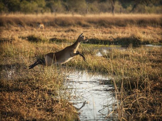 Leaping lechwe at Chobe National Park