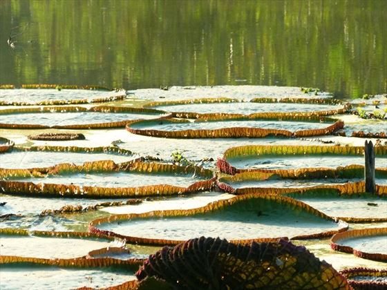 Lily pads floating atop the beautiful Amazon River