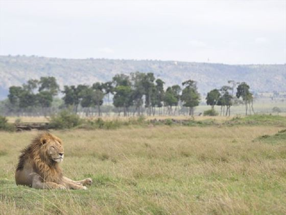 Lions at Governors' Camp