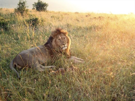 Lion at sunrise on the Masai Mara