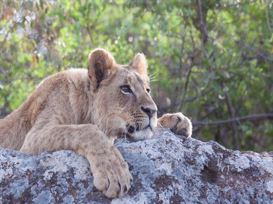 Lion cub in Nairobi National Park