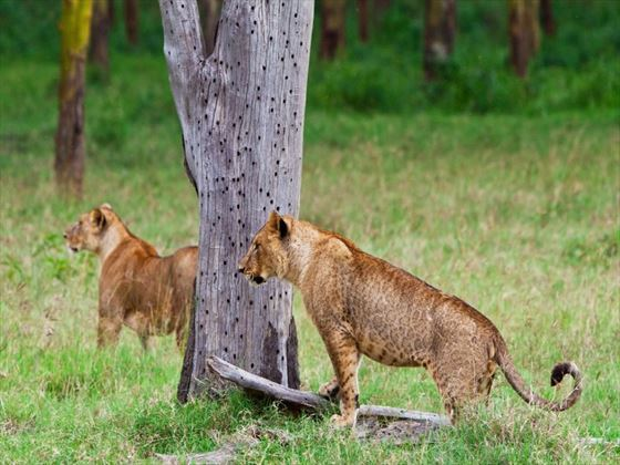 Lions at Lake Nakuru National Park