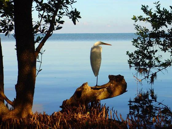 Crane among the Mangrove