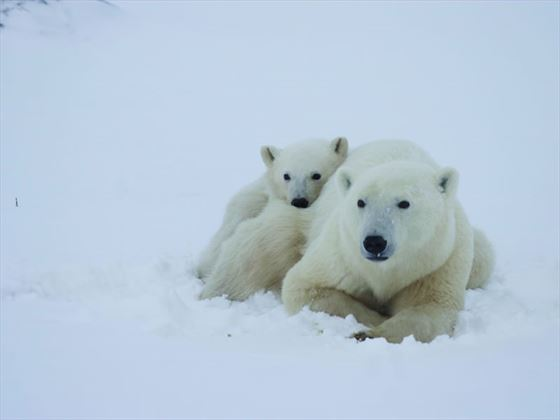 Polar bears - Mom and cub