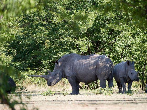 Ongava Lodge rhinos