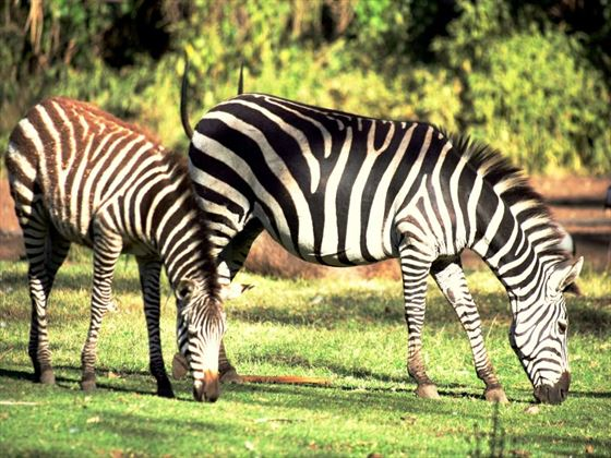 Zebra at Mount Meru Game Lodge