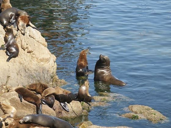 Sealions of Monterey harbour