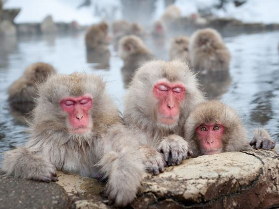 Snow monkeys of Jigokudani