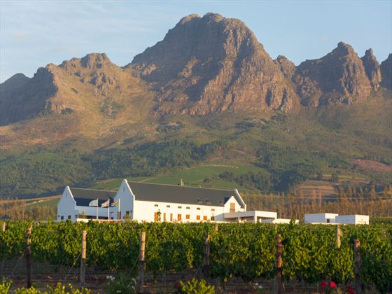 Vineyard at Stellenbosch, South Africa