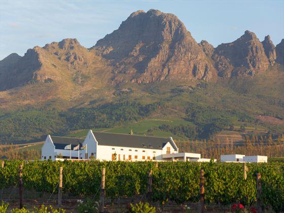 Vineyard at Stellenbosch, South Africa