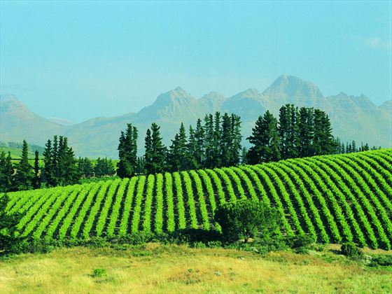 Vineyard, Stellenbosch, South Africa