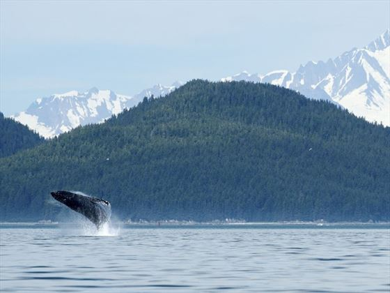 Whale breach at Glacier Bay, Alaska
