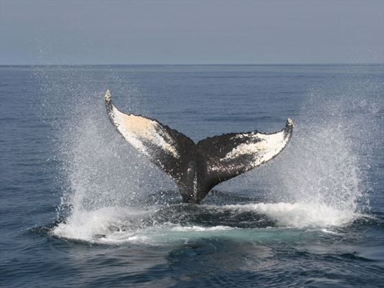 Whale watching in Bay of Fundy