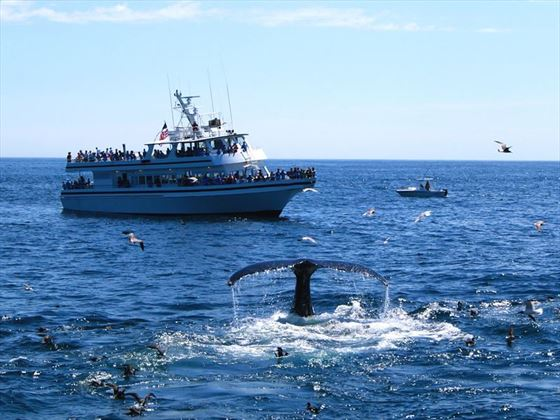 Whale watching off the coast of Provincetown
