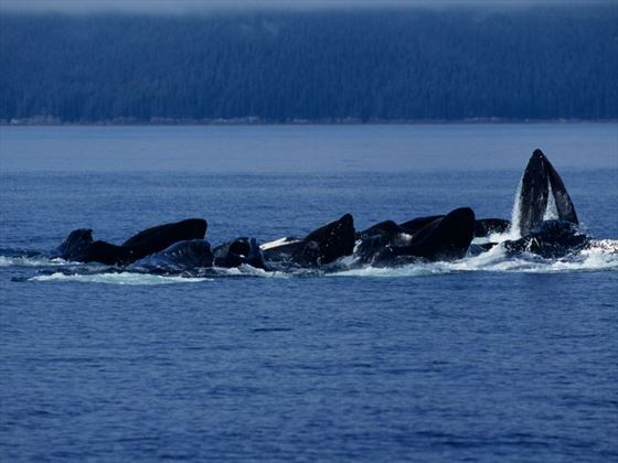 Whale watching from an Alaskan cruise