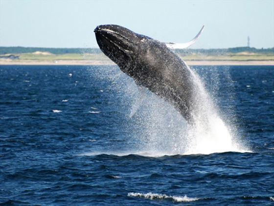Whale Watching at Provincetown