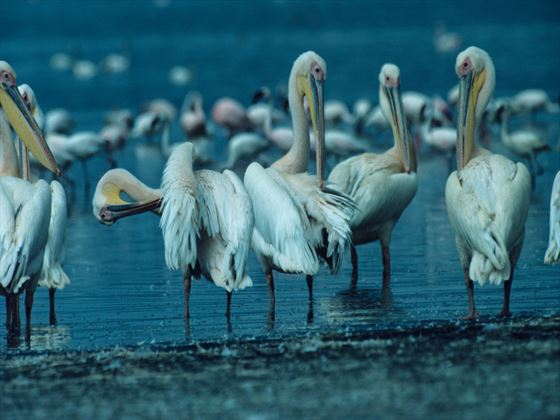 White pelicans at Lake Nakuru National Park